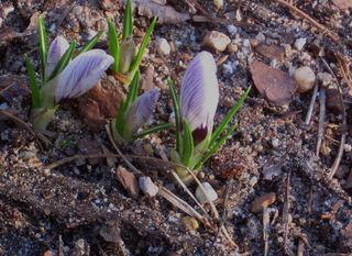 Adjusted Crocus Buds 2